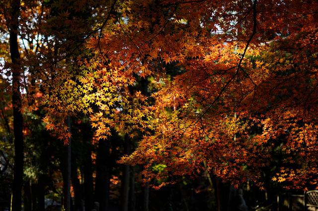 雲の切れ間から差し込む太陽の光が当たる紅葉