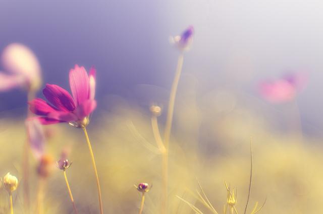 秋の象徴でもある美しいコスモスの写真